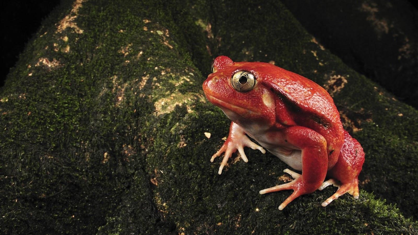 hd wallpapers desktop frogs hd wallpapers