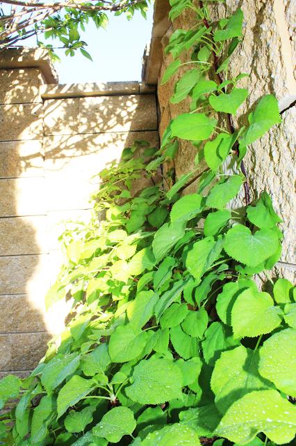 hortensja pnąca,pnącza na murze,nowoczesny i piękny dom,blogerka lifestyle szczecin