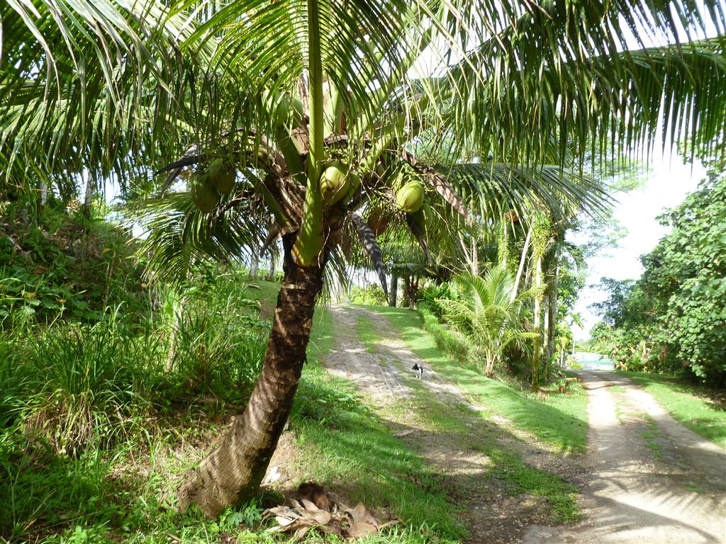 coconut tree The coconut tree grows from a single seed, which is an entire coconut, taking between six and 10 years to bear fruit, and living between 60 and 80 years each coconut.