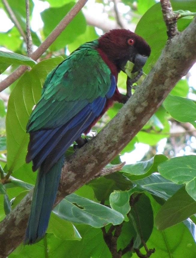 Papagei auf Koro