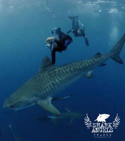 Requins tigre bouledogue blancs - Photo de requin tigre a imprimer ...