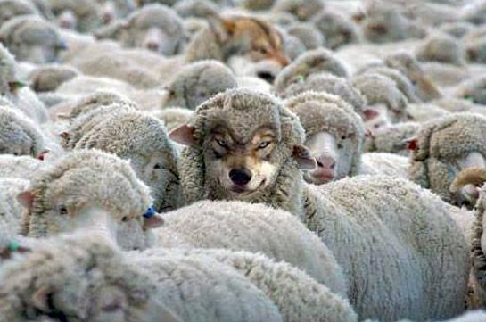 Las ovejas no llevan lana; Lo crecen.