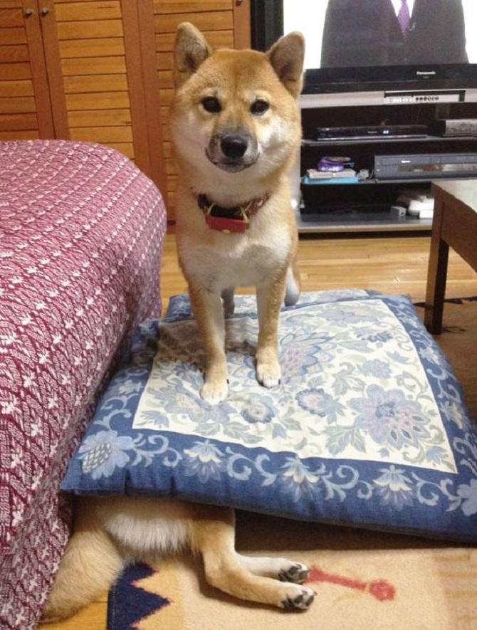 13 tai nạn các em cún Shiba gặp, nhưng rất... hớn hở ảnh 13