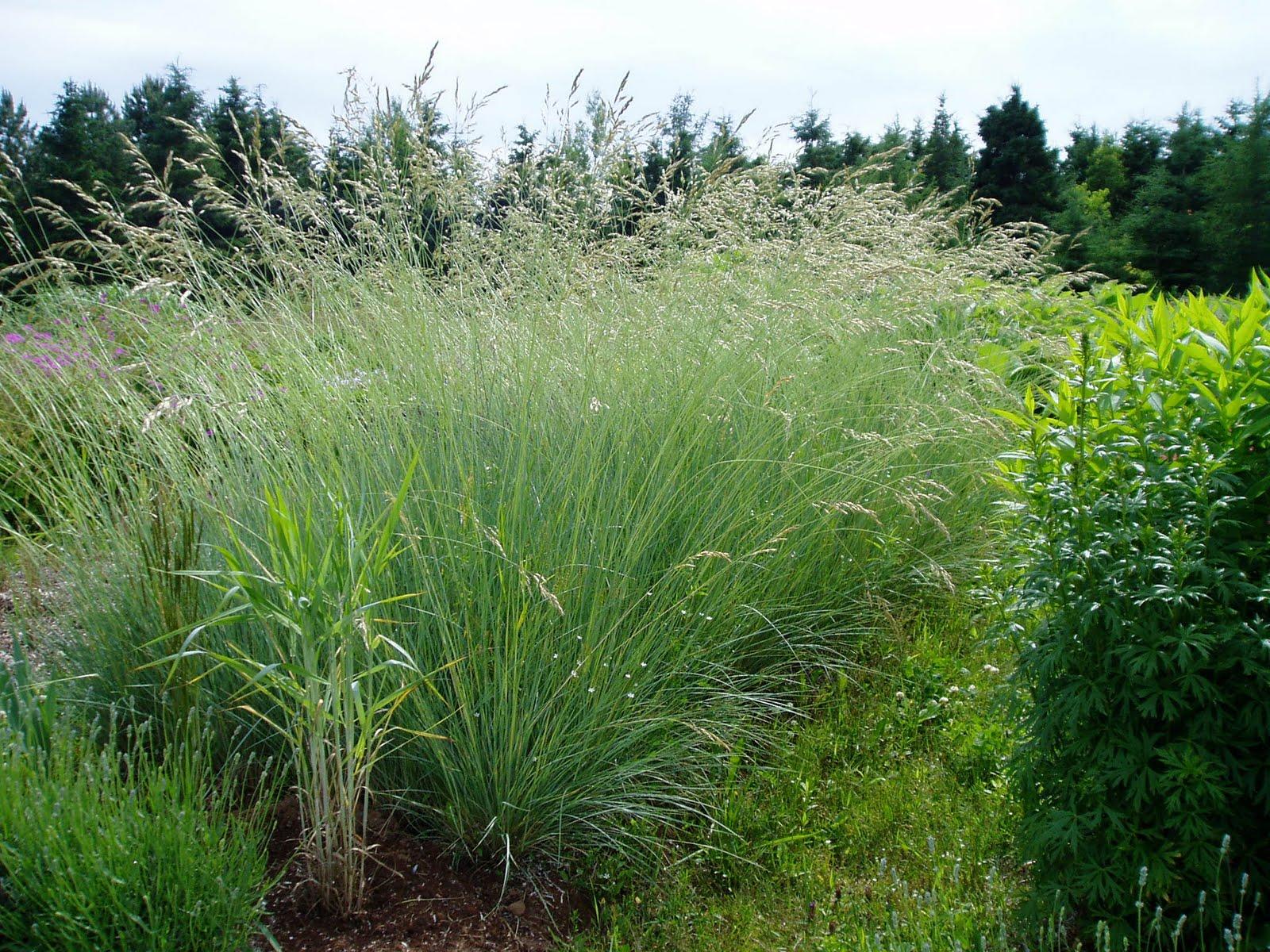 Lovegrass farm cool season vs warm season ornamental grasses for Ornamental oat grass varieties