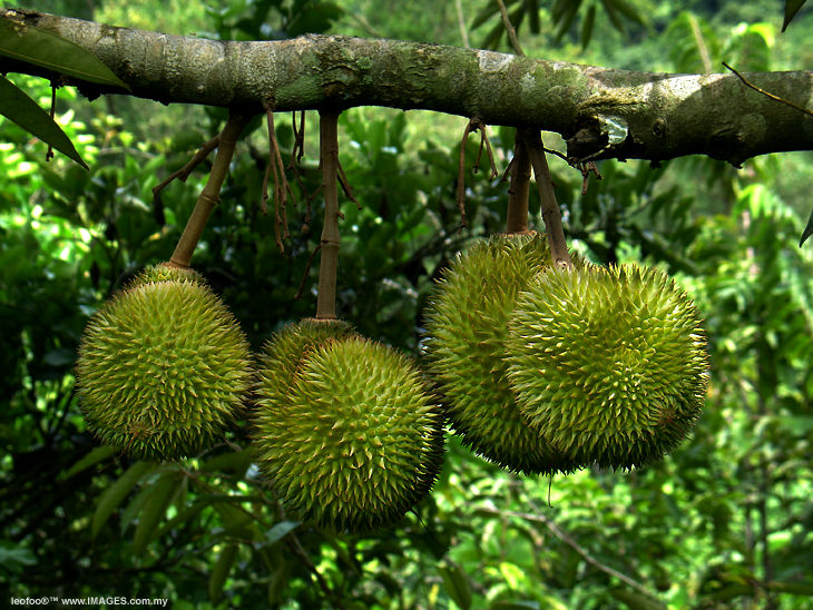 Epicurean Enthusiast: Durian: Bad fruit or Bad rap?: epicureanenthusiast.blogspot.com/2011/04/durian-bad-fruit-or-bad...