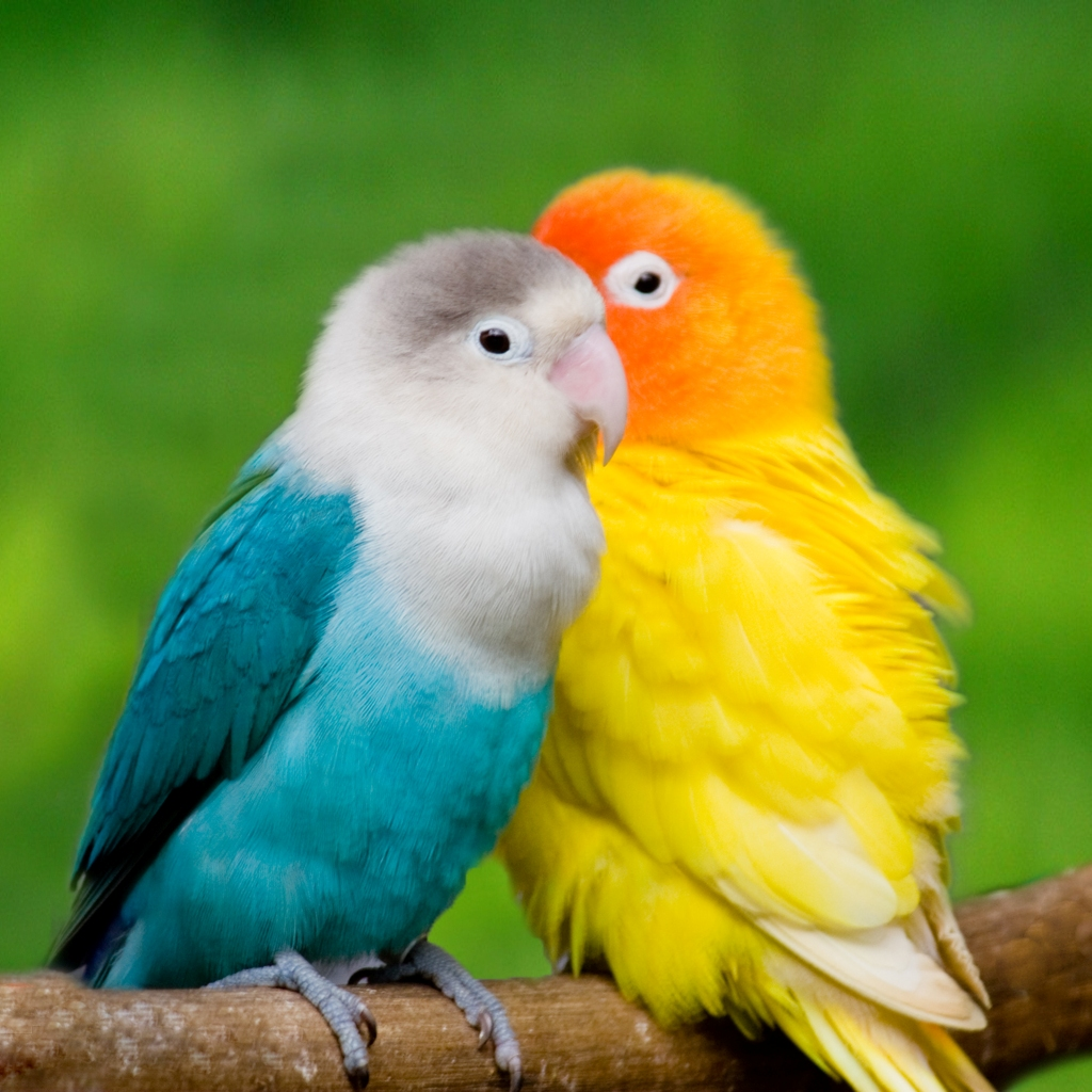 Love Birds Wallpaper Images : Wallpaper Gallery: Love Bird Wallpaper - 1