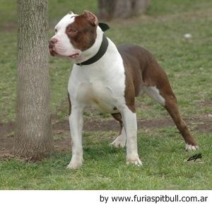 Displaying 16> Images For Bully Kutta Vs Pitbull