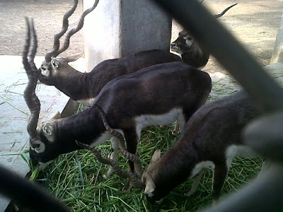 Black Buck in Delhi Zoo