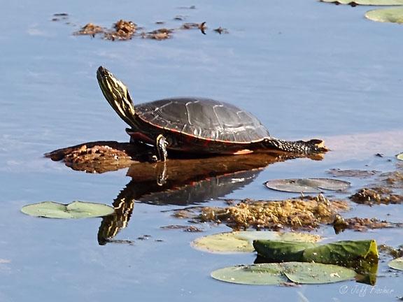 Ecobirder: Turtle Reflection