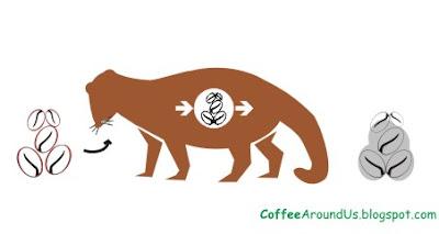 Civet coffee process - photo#6