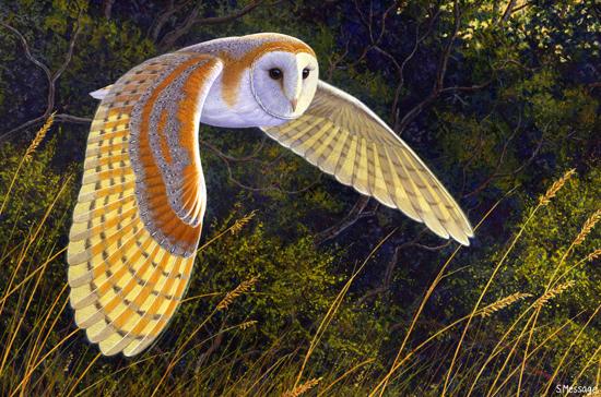 barn owls - photo #22