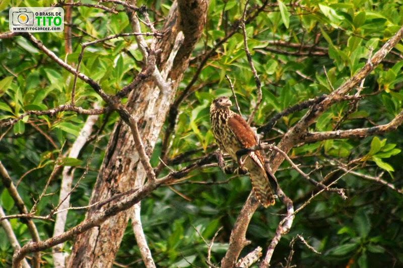 Gavião-carrapateiro (Milvago chimachima), na ilha de Maiandeua (Algodoal), no Pará