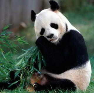 Oso Panda gigante alimentándose