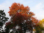 Pin Oak in Autumn