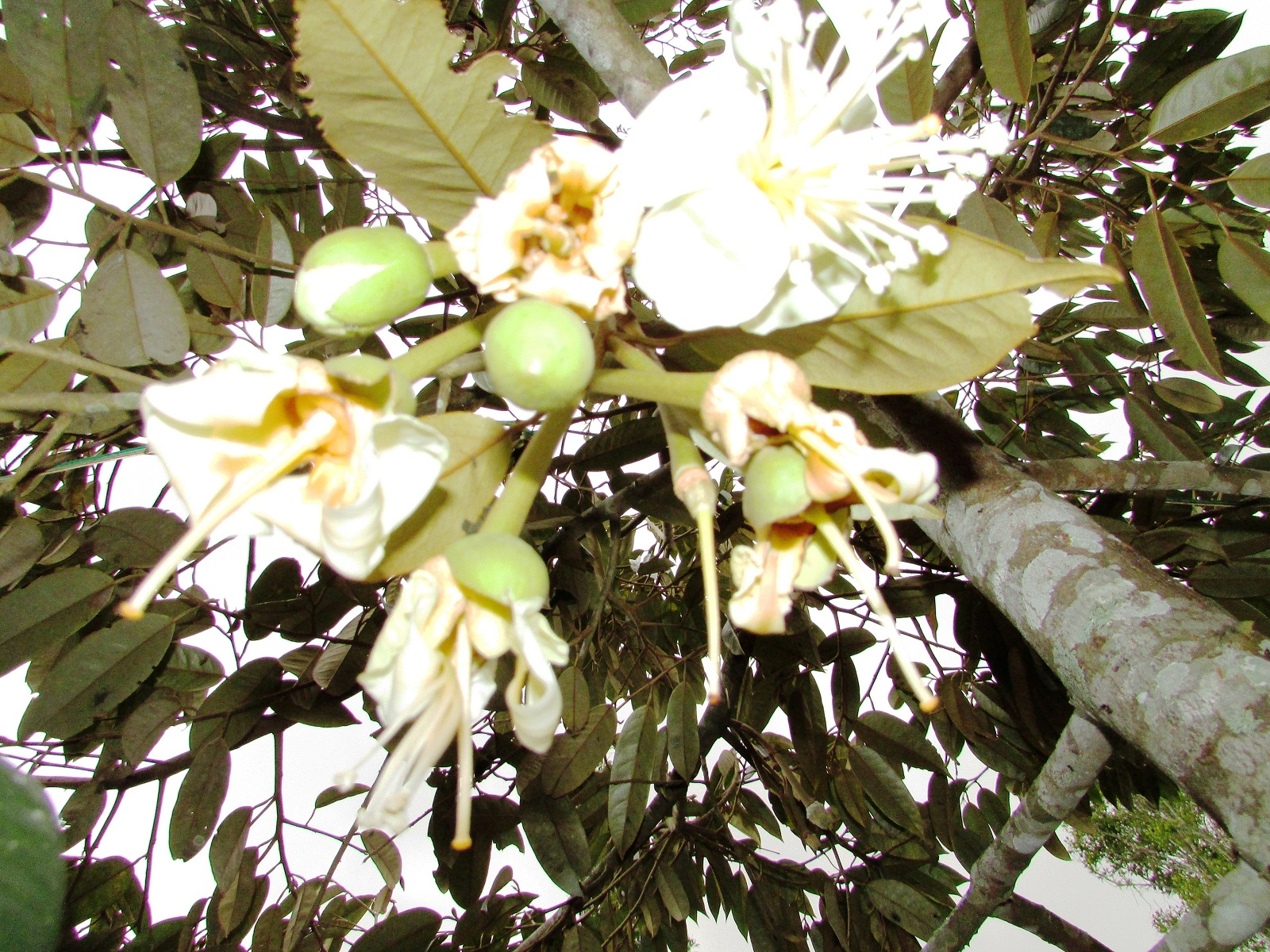Foto Bunga tanaman durian