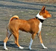 FACT: Basenji dog does not bark
