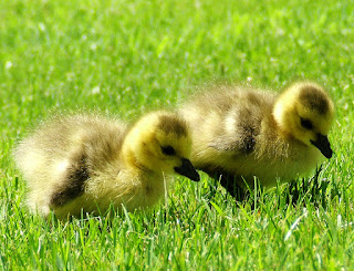 Cute Little Yellow Ducks Feeding HD Wallpaper