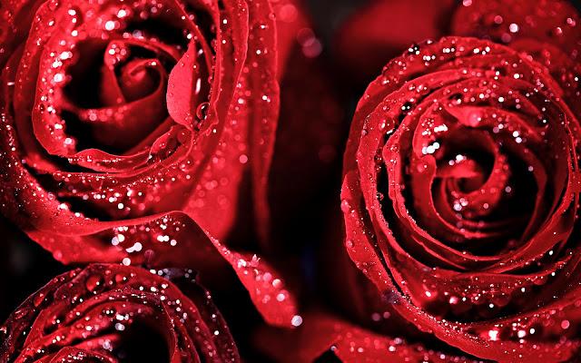 Hermosas Flores Rojas después de la Lluvia