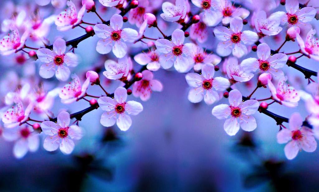 10 Gambar Wallpaper Bunga Sakura   Gambar Top 10