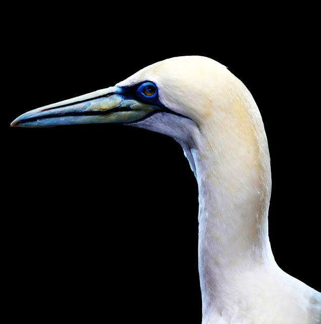 aves, supervivientes, Bob Croslin, fotografia, Grounded, Winged, Survivors, Florida, Gulf Coast, Gannett, Suncoast Seabird Sanctuary