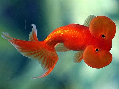 NATURE'S BEAUTY: Bubble Eye Goldfish