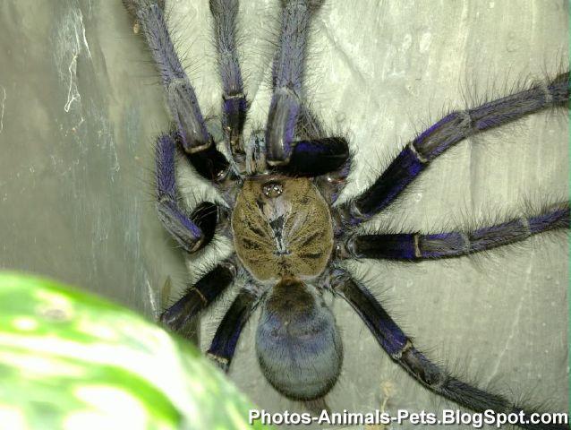 Pets cobalt blue spider