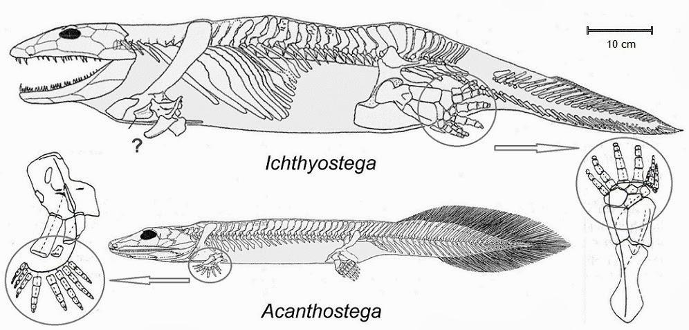 Image result for Ichthyostega