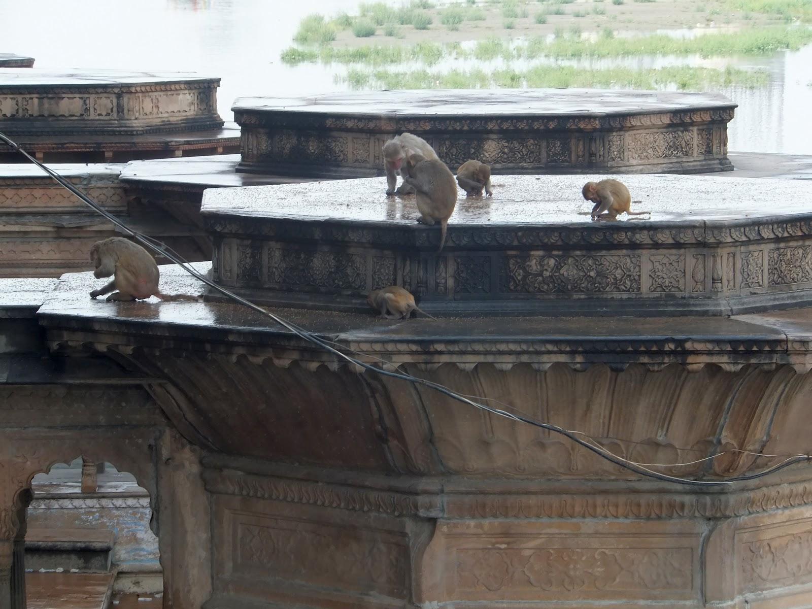 обезьяны собирают воздушный рис
