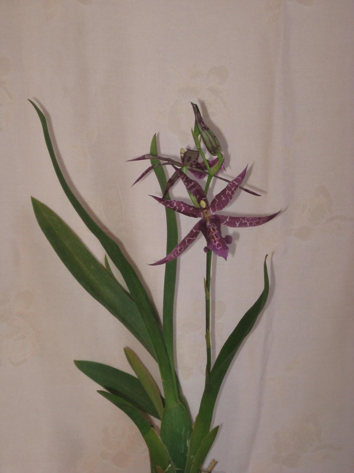Miltassia Sadie Loo x Miltonidium Christmas Eve. Цветонос орхидеи