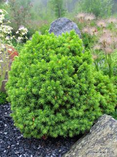 Picea glauca 'Alberta Globe'