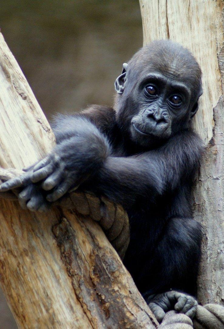 Griffe Tattoo Primatas Macacos