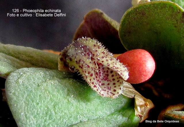 Pleurothallis echinantha ,Physosiphon echinanthus ,Pleurothallis peperomioides Ames, Phloeophila peperomioides, Specklinia peperomioides .
