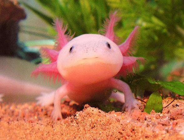 Funny And Cute Axolotl   Funny Animals