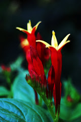 Spigelia marilandica