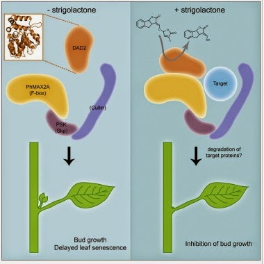 Homo agricola nuevas hormonas vegetales i estrigolactonas for Hormonas en las plantas