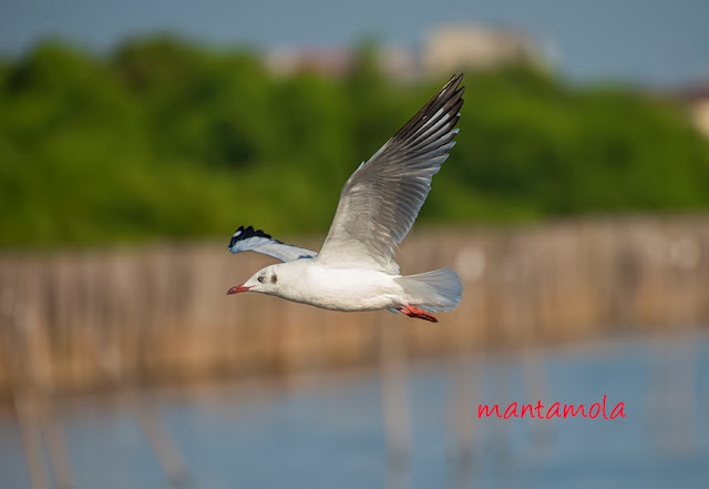 Brown-headed Gull (Chroicocephalus brunnicephalus)