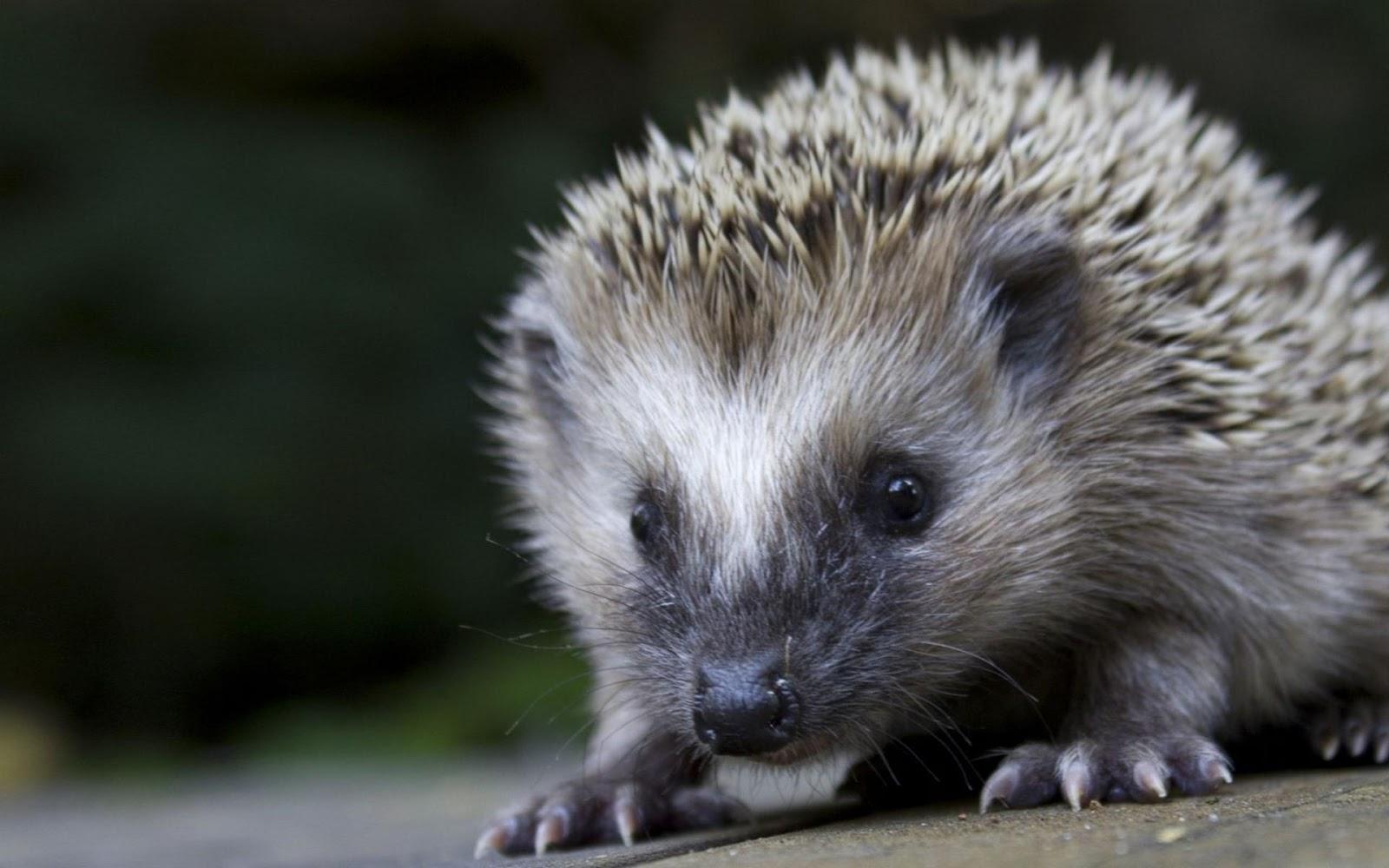 http://1.bp.blogspot.com/-E0mR45ije8Y/UNHPkZ1AHwI/AAAAAAAALIg/ll9vWSLvUdU/s1600/Cute-Hedgehog-1200.jpg