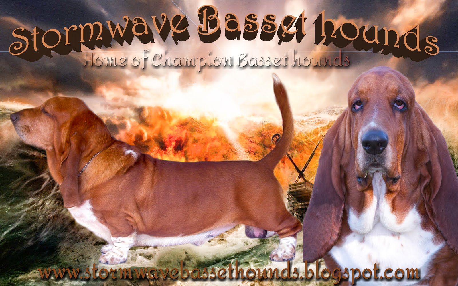Stormwave Basset hounds