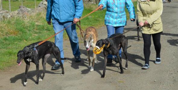 Great British Greyhound Walk