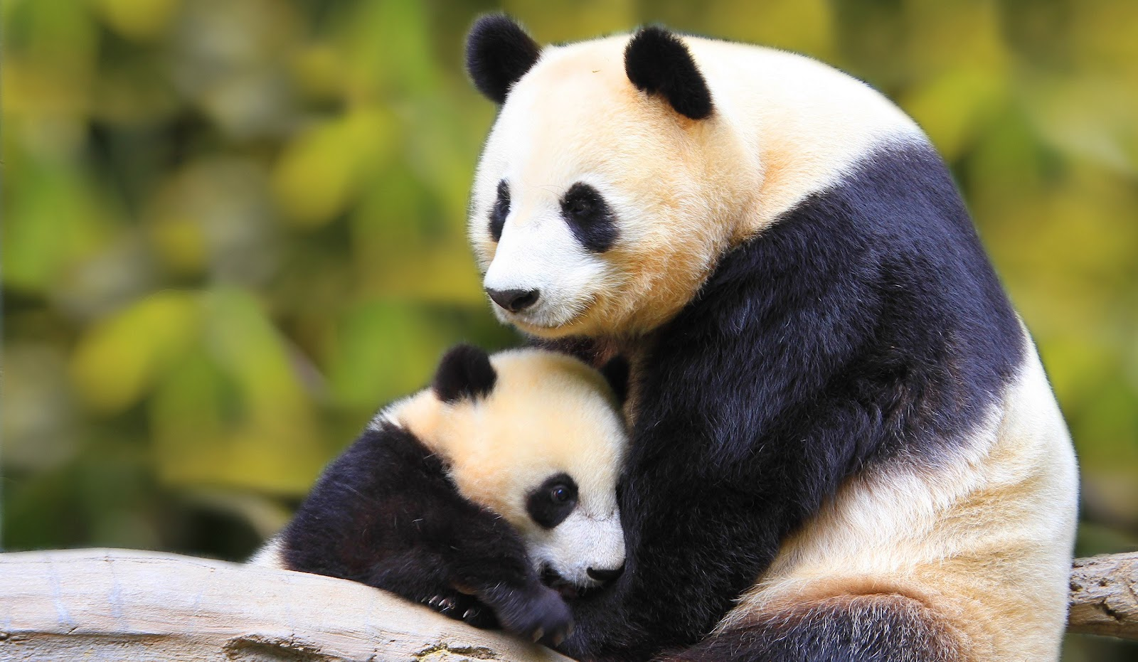 panda pictures hd wallpapers -#main