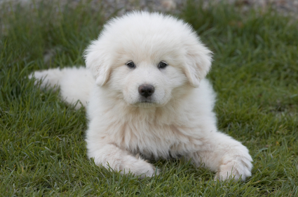 Great Pyrenees Puppies on Colorado Great Pyrenees Rescue Community  Breeders Versus Rescues  Why