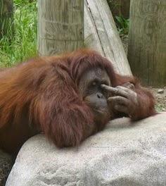 lustiger Affe mit Mittelfinger