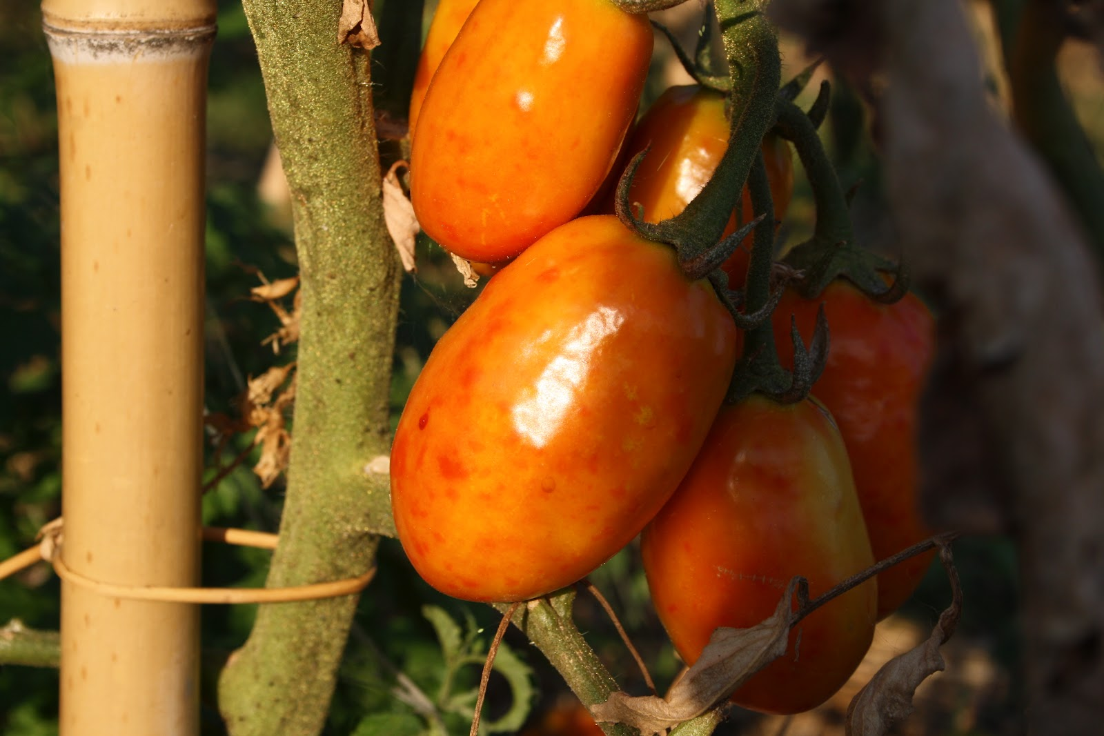 Losmogotes pomodoro d 39 agosto for Cimici nere