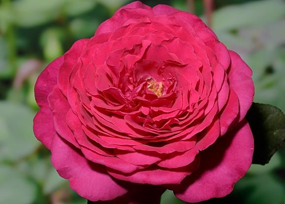 Goete Rose rose сорт розы фото