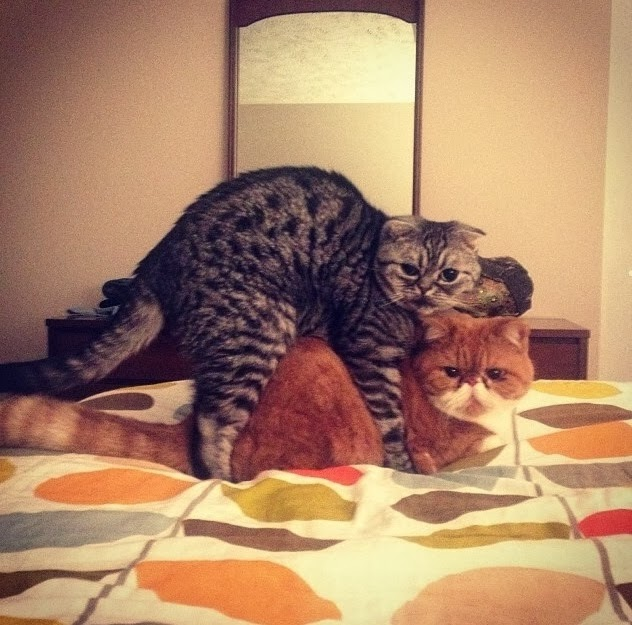 Funny cats - part 88 (40 pics + 10 gifs), cats making love in bed