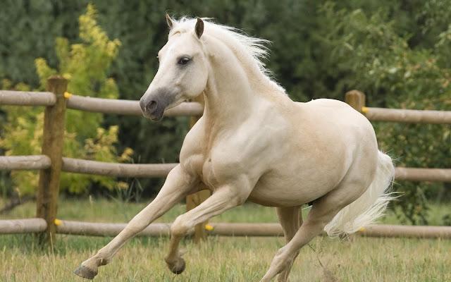 Caballos Blancos Corriendo Imágenes de Animales