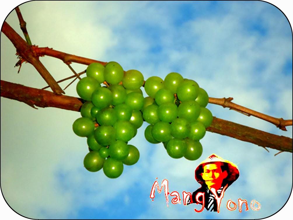 Cara / Tips Agar Pohon Anggur Bisa Berbuah Rutin.