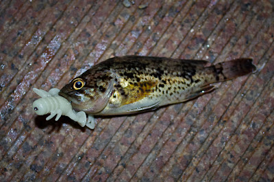Sebastes Trivitattus, Трехполосый морской окунь