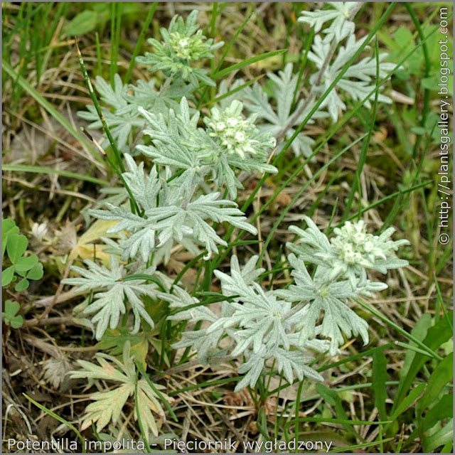 Potentilla impolita leawes - Pięciornik wygładzony liście