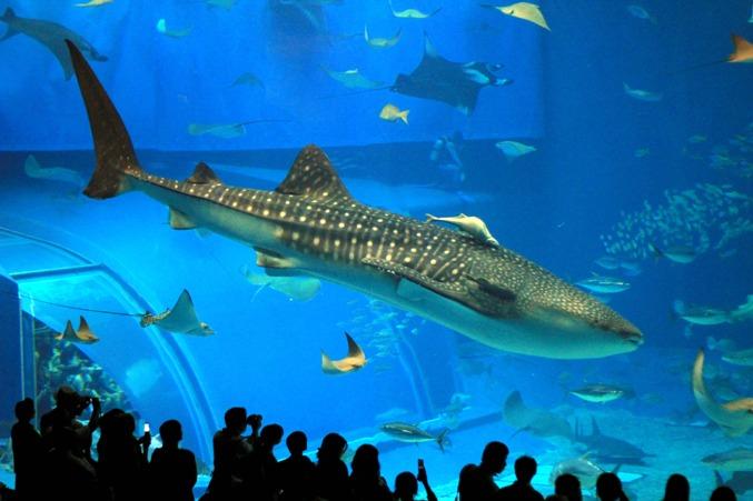 De todo un poco el impresionante acuario de okinawa en for Todo para acuarios
